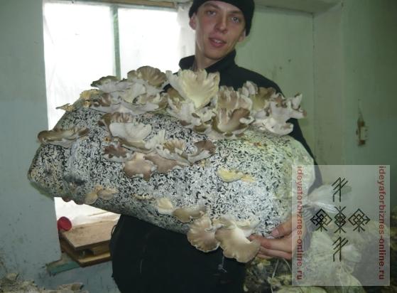 Как вырастить самому грибы вешенки - Savvinka.ru
