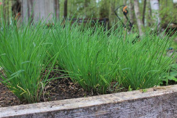 Выращивание и продажа зелени в домашних условиях