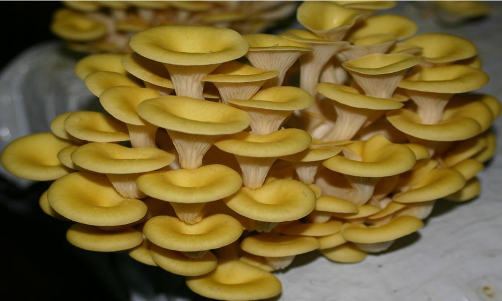 Вешенка может давать до 15 кг грибов с одного кв метра