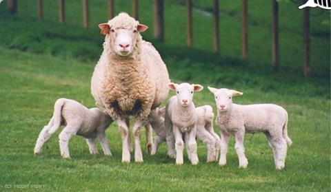 Разведение овец как бизнес с чего начать как преуспеть